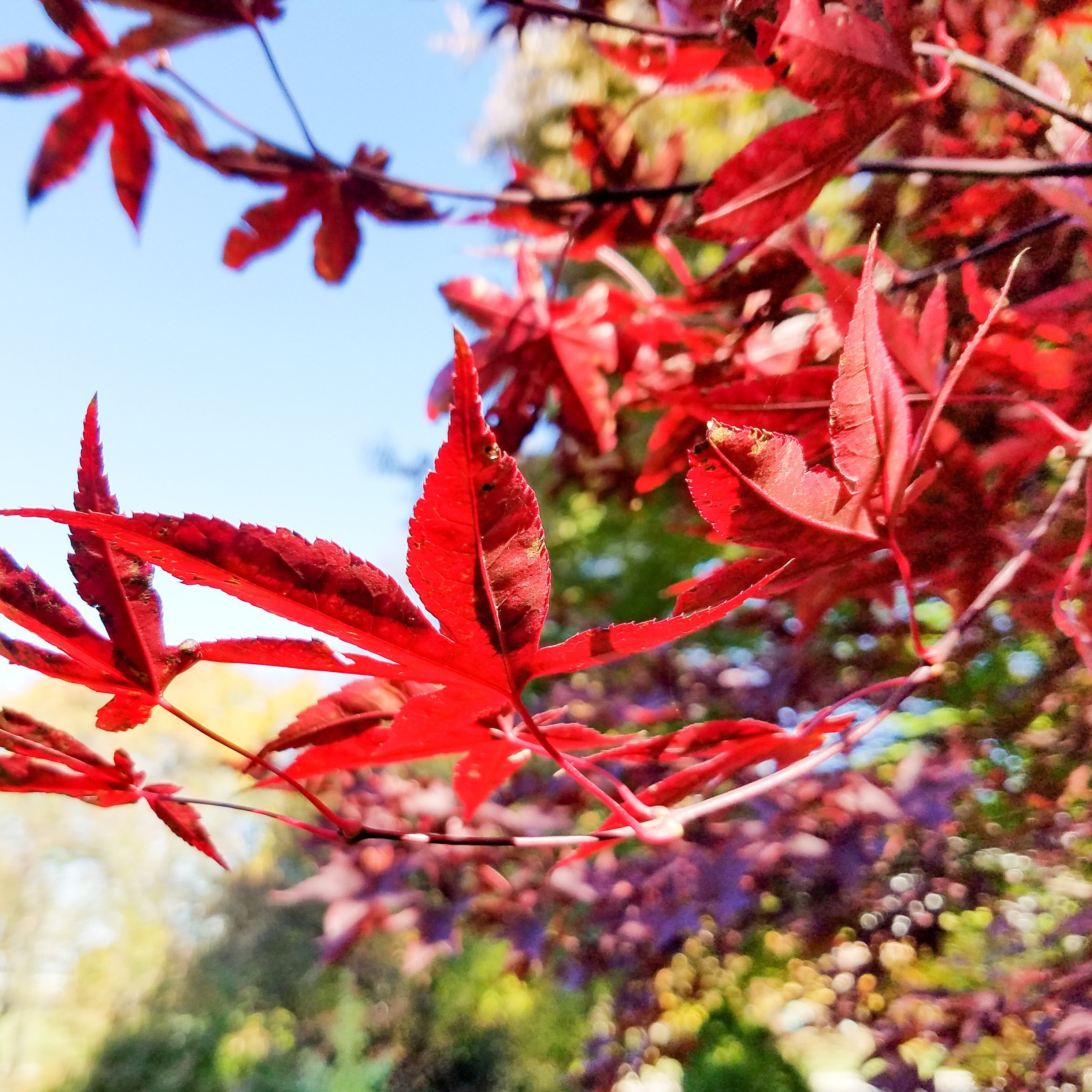 Japanese Maple Emperor Southern Scapes Nursery