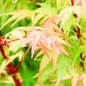 Japanese Maple Fjellheim