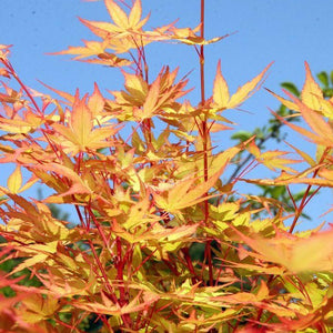 Japanese Maple Radiant