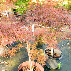 Japanese Maple Crimson