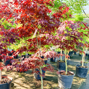 Japanese Maple Emperor