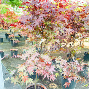 Japanese Maple Hefners Red