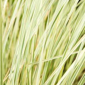 Lomandra Platinum Beauty