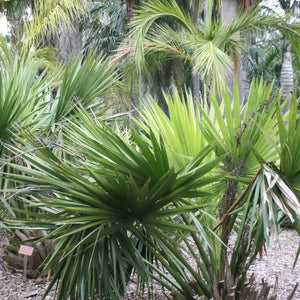 Palm Sabal Minor