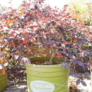 Loropetalum Ever Red Sunset
