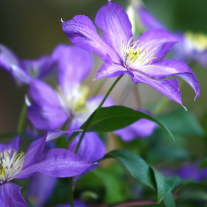 Clematis Assorted Variety