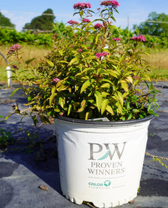 Spirea Double Play