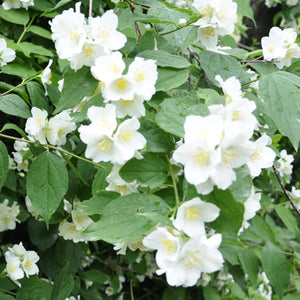 Sweet Mock Orange