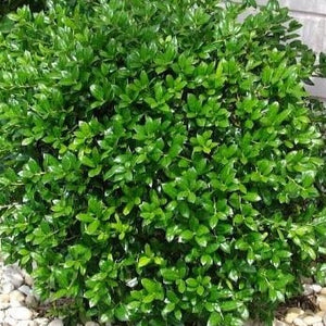 Holly Dwarf Burfordi