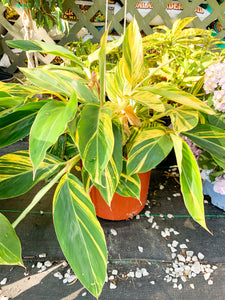 Ginger Lily Variegated