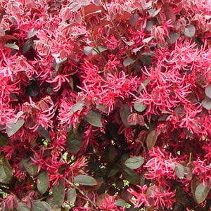 Loropetalum Red Chocolate