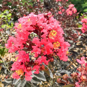 Crape Myrtle Midnight Magic