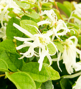 Loropetalum Emerald Snow