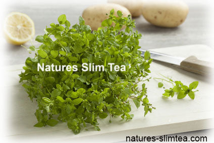 Chickweed Tea and Weight Loss