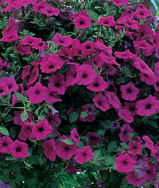 Purple Wave Hanging Basket