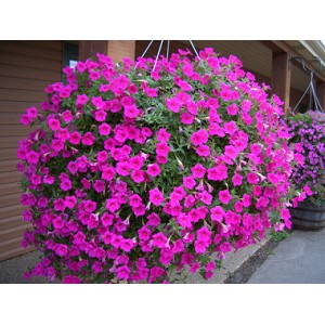 Pink Wave Hanging Basket