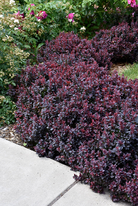 Barberry - Concord