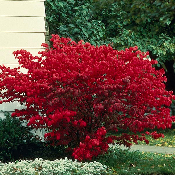 Burning Bush - Dwarf