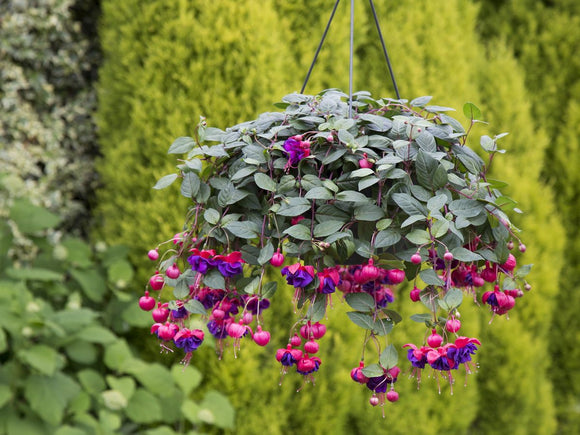 Dark Eyes Fuchsia Hanging Basket