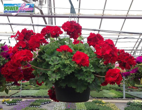 Dark Red Geranium Hanging Basket
