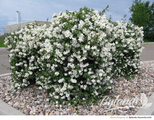 Mock Orange - Blizzard