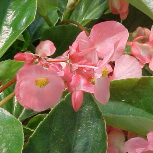 Pink Dragon Wing Begonia Hanging Basket
