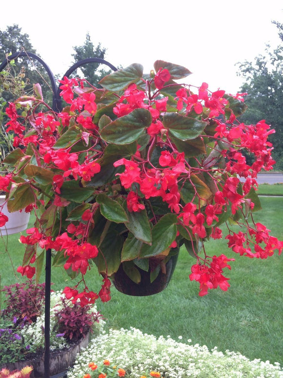 Red Dragaon Wing Begonia Hanging Basket