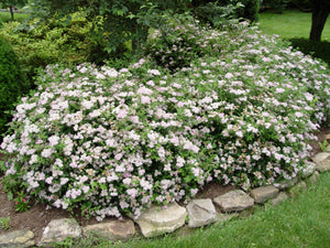Spirea - Little Princess
