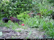 Load and play video in Gallery viewer, Wild Strawberry Feast 2021