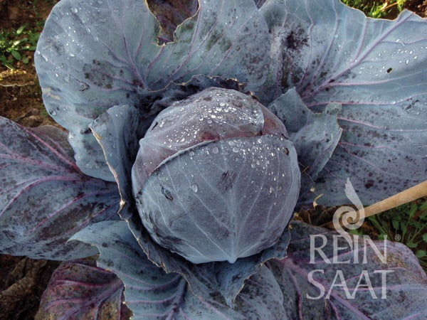 Red Cabbage Organic Seeds