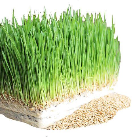 Wheat sprouting seeds 100g