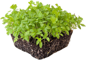 Parsley microgreen  seeds  100g