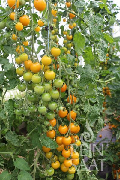 Golden Corn Tomato Organic Seeds