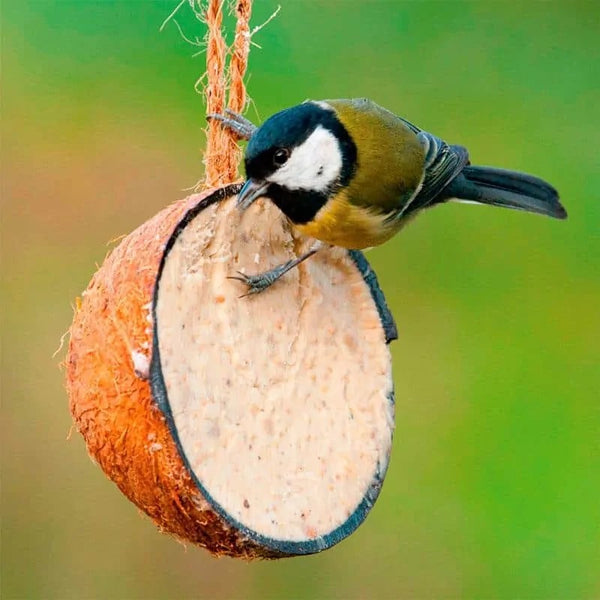 Blue Tit on Coconut Shell filled with Suet Mix