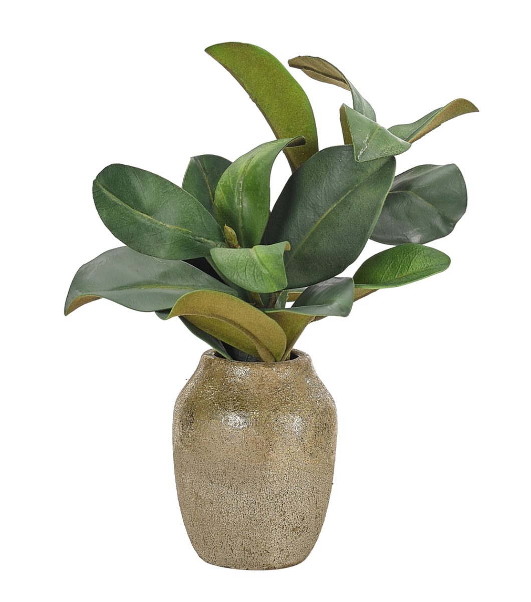 Potted Magnolia Plant