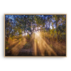 Rays of sun through forest in Western Australia framed canvas