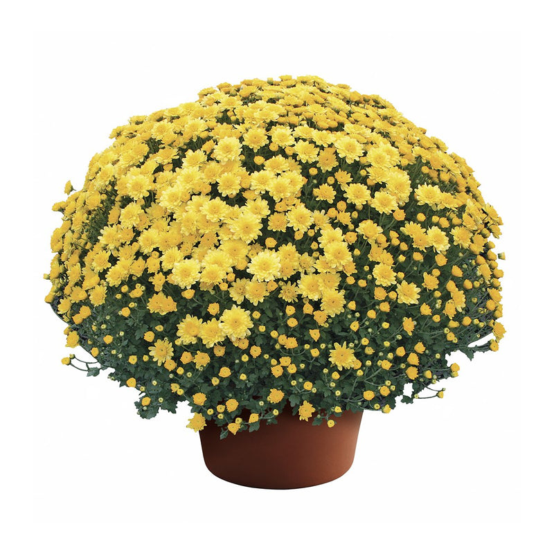 "8"" Fall Chrysanthemum - Yellow"