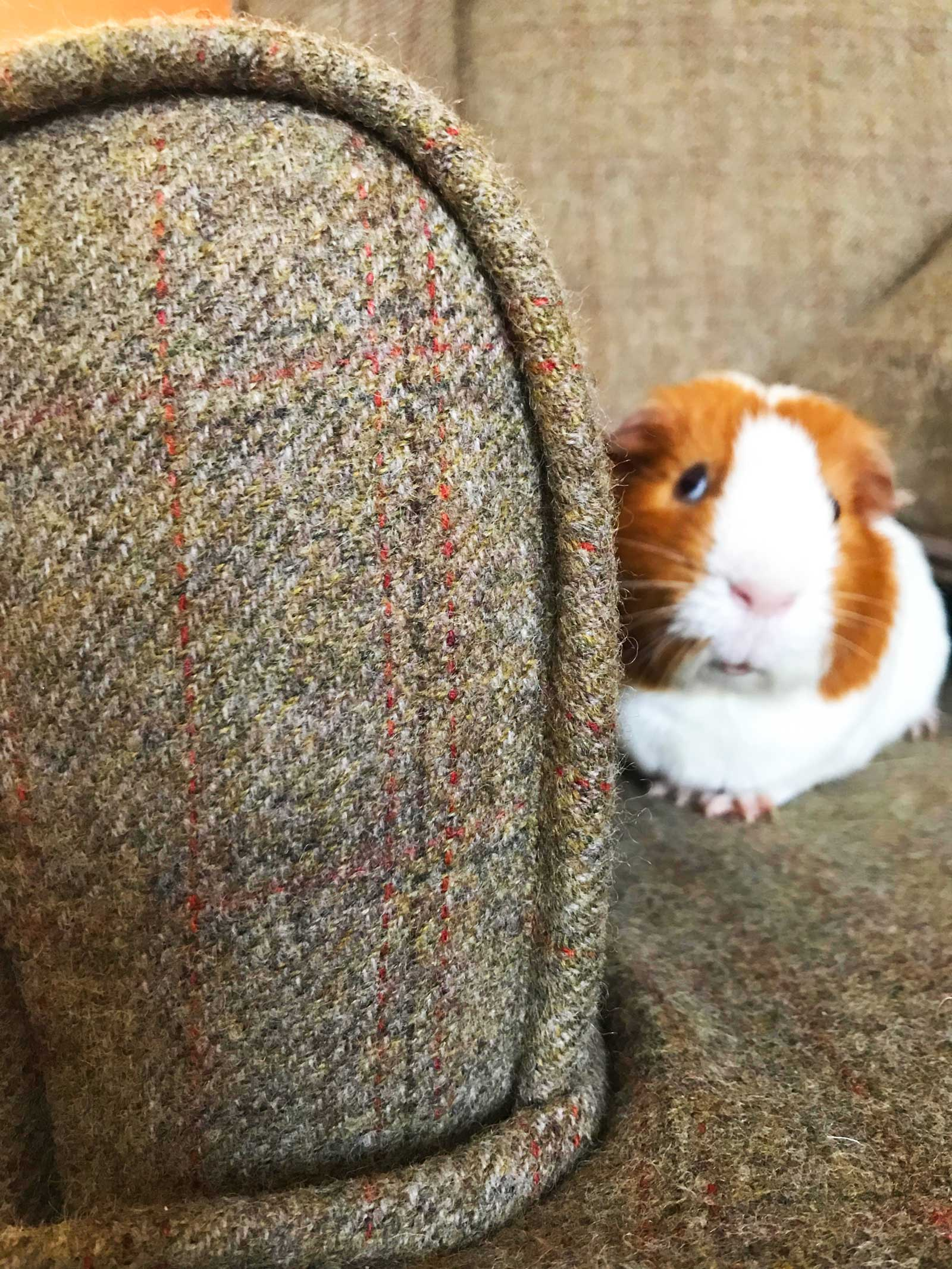 Chuck the guinea pig: Love the modern country look? Check out Kate's home tour on www.lovetohome.co.uk