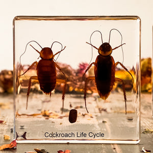 Life Cycle Of A Cockroach Specimen