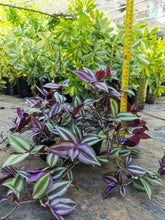 Load image into Gallery viewer, Wandering Jew