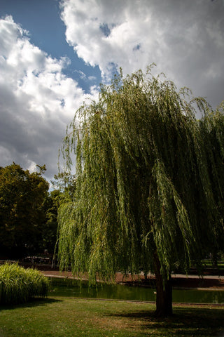 willow, Photo by Darion Queen on Unsplash