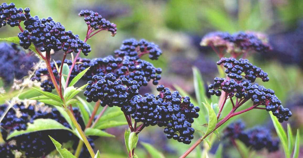 Black Elderberry - Vital Pharmacy Supplies