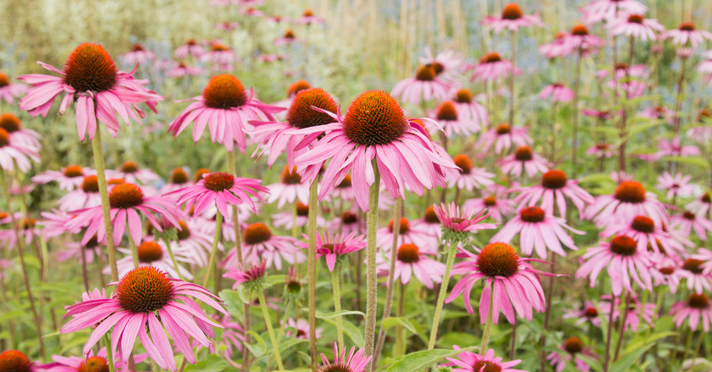 Echinacea - Vital Pharmacy Supplies