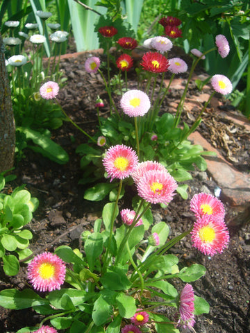 Bellis Pompoms