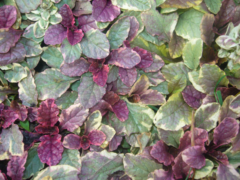 Ajuga 'Burgandy lace'