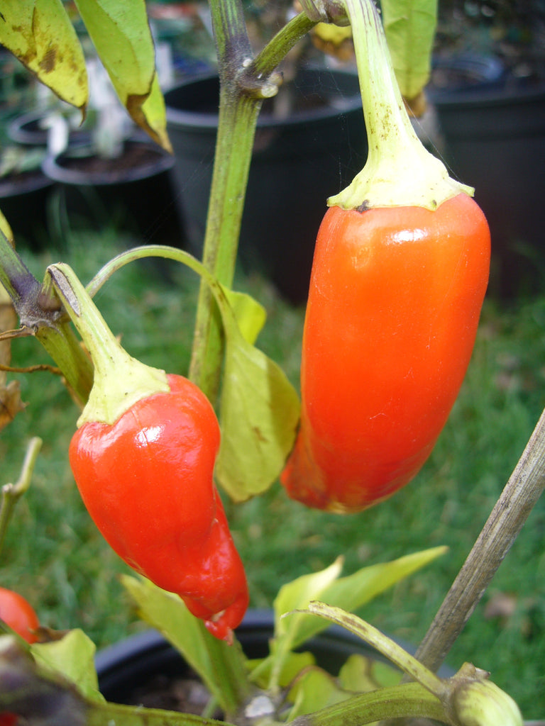 Chilli Pepper Hungarian Yellow Wax