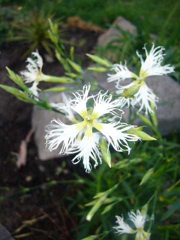 Dianthus Rainbow Loveliness - white