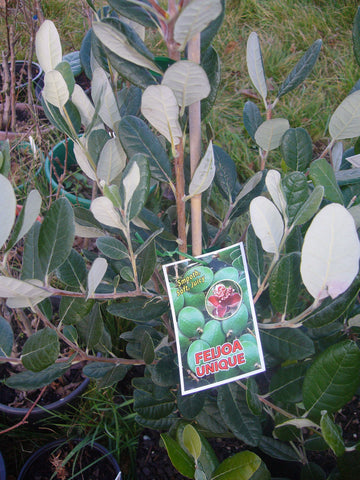 Feijoa 'Unique'