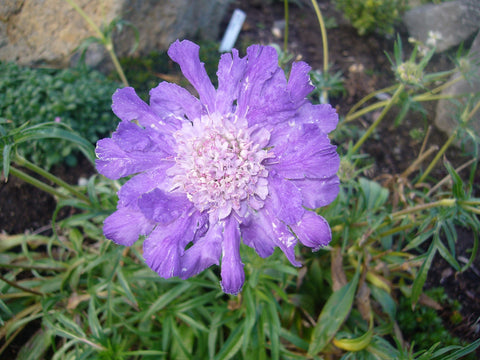 Scabiosa Deep Waters