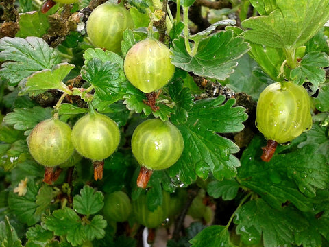 Gooseberry Farmers Glory